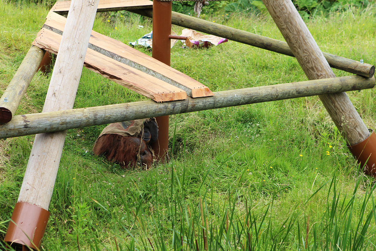 durrell wildlife park orangutan