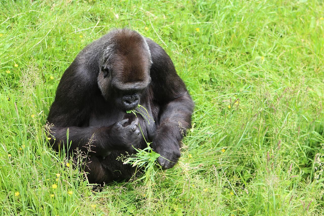 durrell wildlife park gorilla