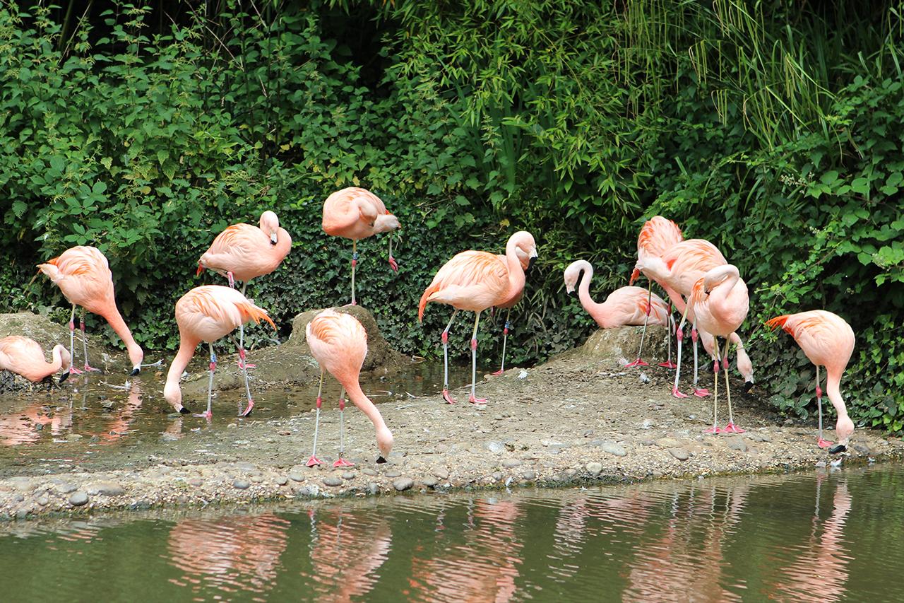 durrell wildlife park flamingo
